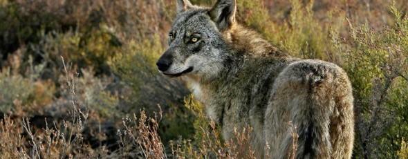 Andoni Canela, Durmiendo con Lobos, Piedra de Toque